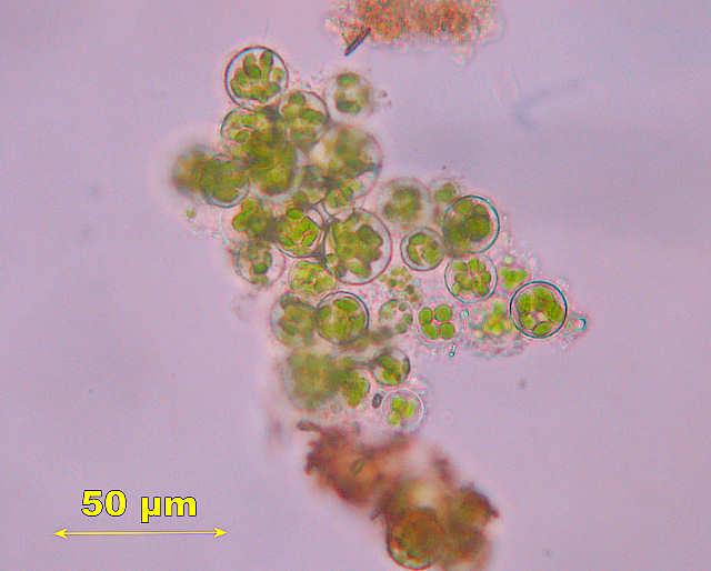 Gonium Microscope Slide Pandorina
